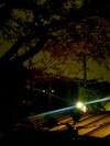 目白の建築事務所屋上から見た桜