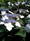 新宿御苑の紫陽花(あじさい)
