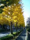 新宿区百人町のイチョウ並木