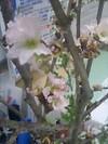 事務所内の桜