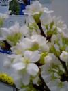 事務所の桜