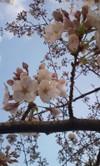 新宿御苑前の桜