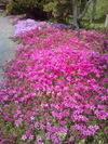 実家の庭の芝桜